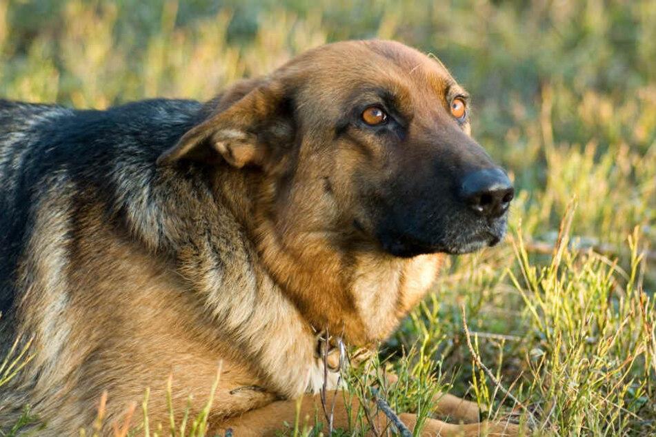 Einfach grausam: Tierhasser tötet Schäferhund mit Giftköder