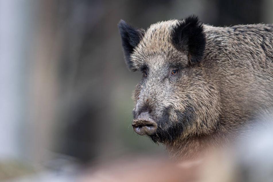 wildschweine in kleinmachnow