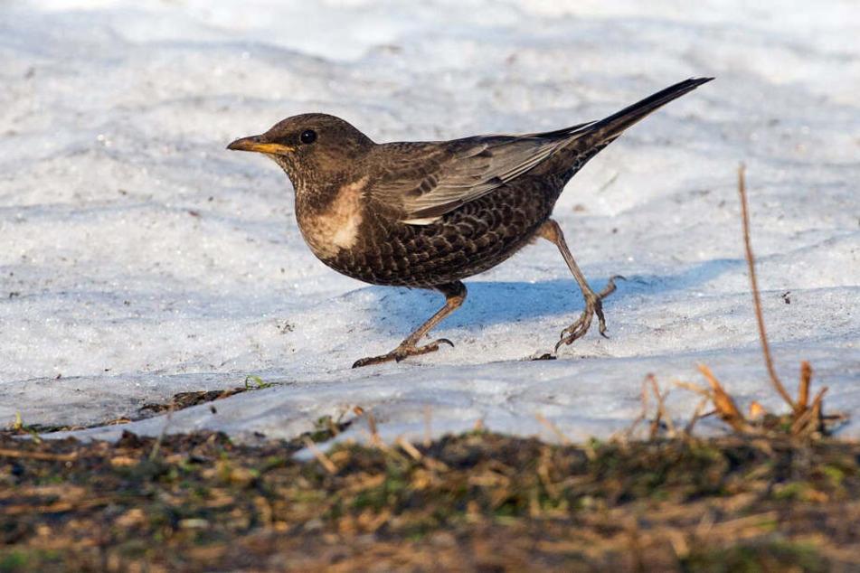 Die Ringdrossel gehört zu den seltensten Brutvögeln Sachsens.