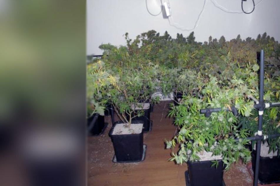 Nach Wohnungs-Durchsuchungen in Chemnitz: Cannabisplantage entdeckt