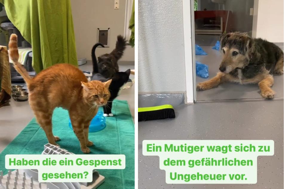 Die Katzen müssen sich noch mit ihrer neuen Umgebung vertraut machen. Beim Anblick von Tierheim-Hund Lupo gehen die Samtpfoten in Alarmstellung. (Fotomontage)