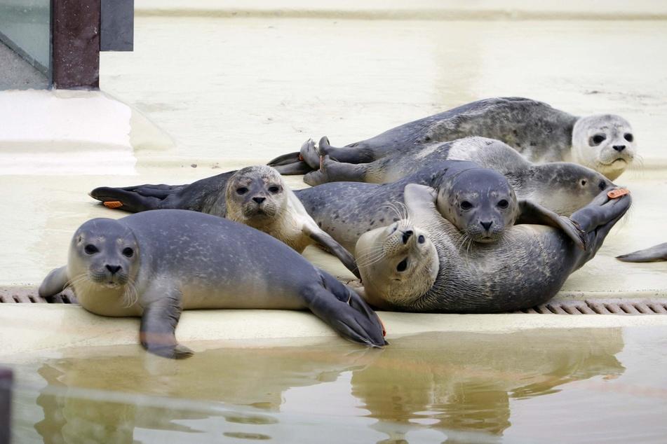 Junge Seehunde liegen vor einem Becken der Seehund-Station.