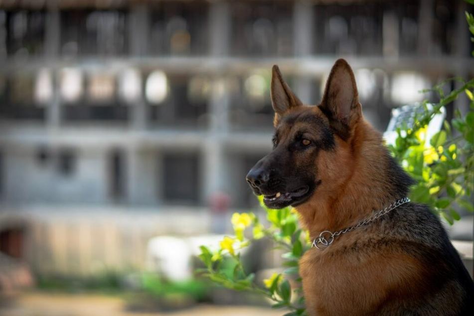 Schäferhunde sind sehr wachsam und bellen viel.