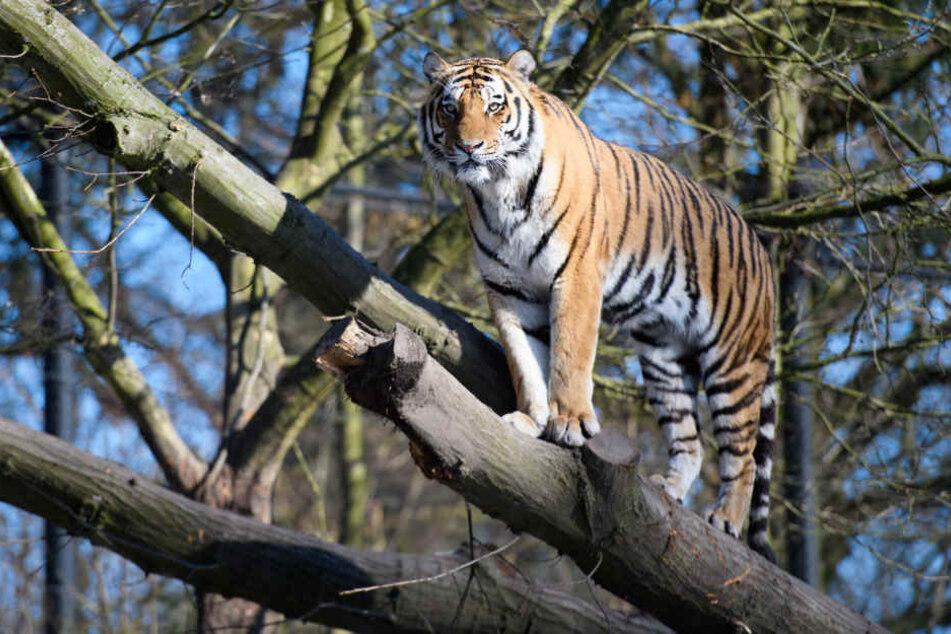 Tiger Vitali sonnt sich auf einem Ast in der Sonne.