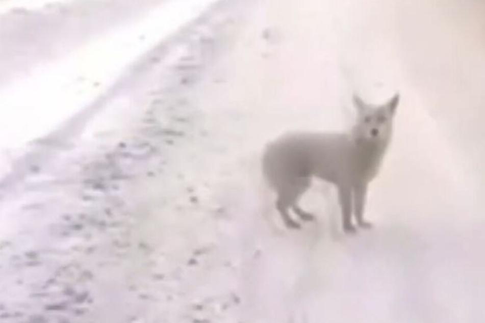 Der Hund soll seit Monaten nahe des russischen Dorfes Kuskun ausharren.