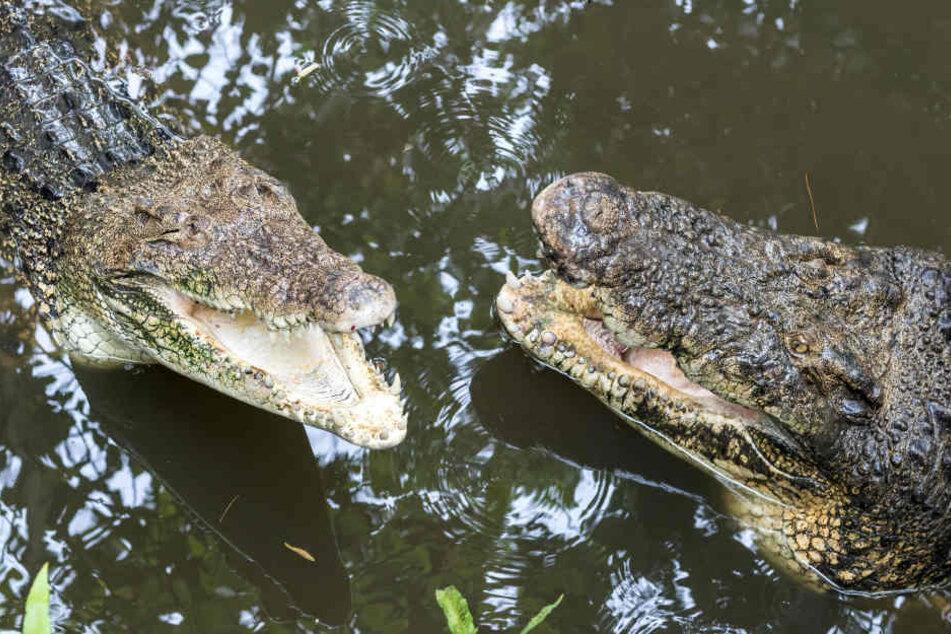 In Indonesien sind zwei Menschen nach einem Krokodil-Angriff gestorben. (Symbolbild)