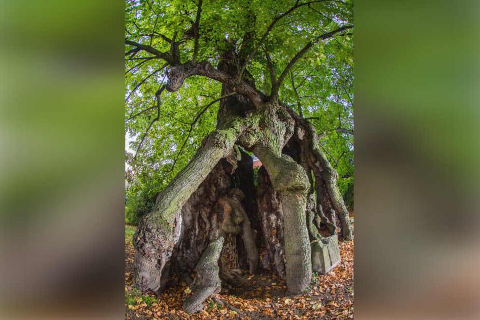Die Collmer Linde bietet nicht nur einen einzigartigen Anblick. Sie gilt auch als ältester Baum Sachsens.