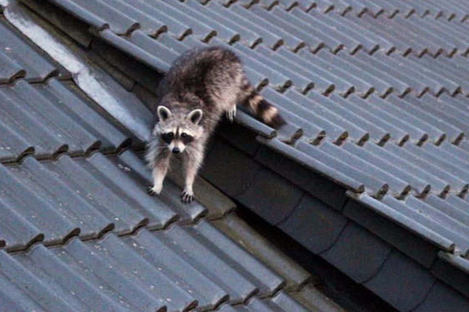 Die tierischen Untermieter machen sich immer breiter in besiedelten Gebieten.