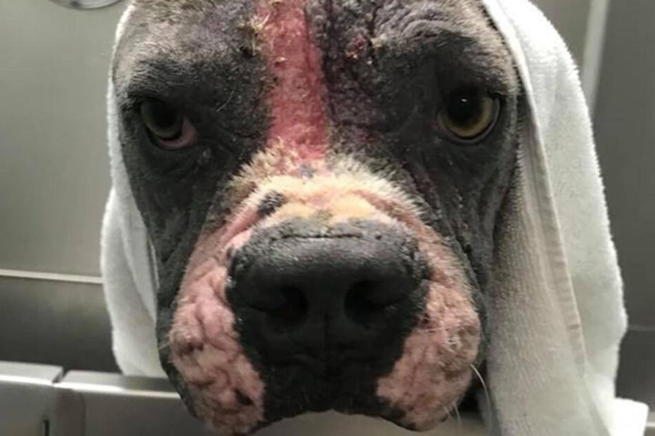 """Hund """"Meatloaf"""" war bei seiner Rettung in einem schrecklichen Zustand."""