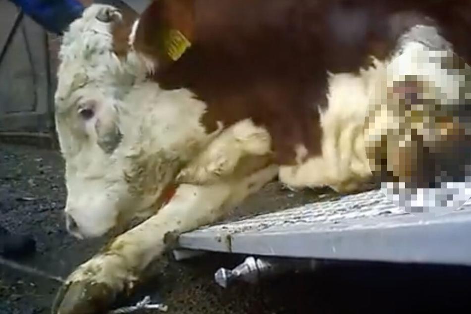 Grausam: Eine kranke Kuh wird an ihrem bereits verletzten Fuß eine Seilwinde hinaufgezogen.