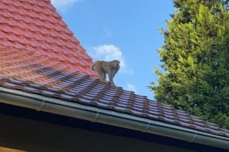 Auf den Dächern sind die frechen Affen nur schwer zu kriegen.