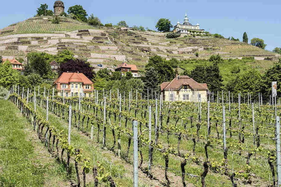 In Traubenproben von zwei sächsischen Erzeugern sind Rückstände eines im Weinbau verbotenen Pflanzenschutzmittels entdeckt worden.(Archivbild).