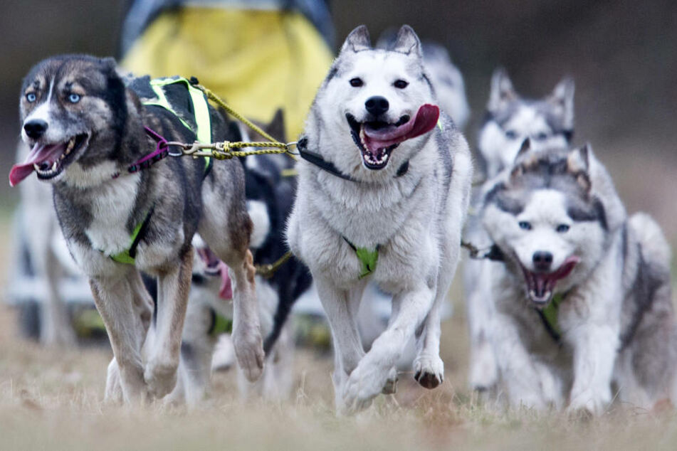 Eigentlich lieben sie die Kälte: 300 reinrassige Schlittenhunde treffen sich am Samstag und Sonntag im Gartenreich Dessau-Wörlitz. (Symbolbild)
