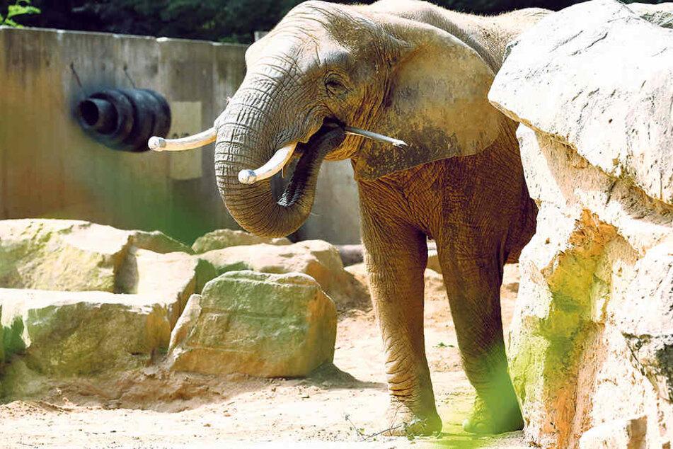 Die Elefanten warten auf ihr neues Elefantenhaus.