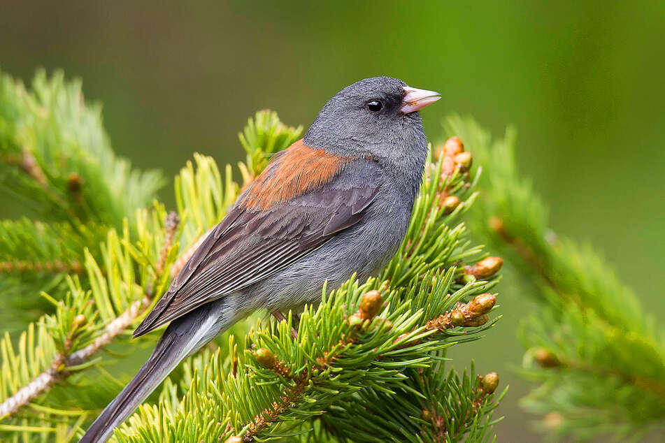 The North American Junco is one species that Sara Ryding's research shows will probably grow a bigger bill due to climate change.