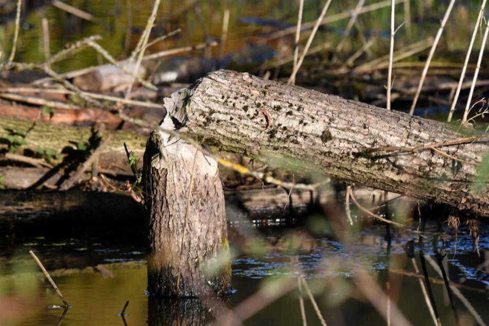 Der Baumstamm weist die typischen Nagespuren eines Bibers auf.