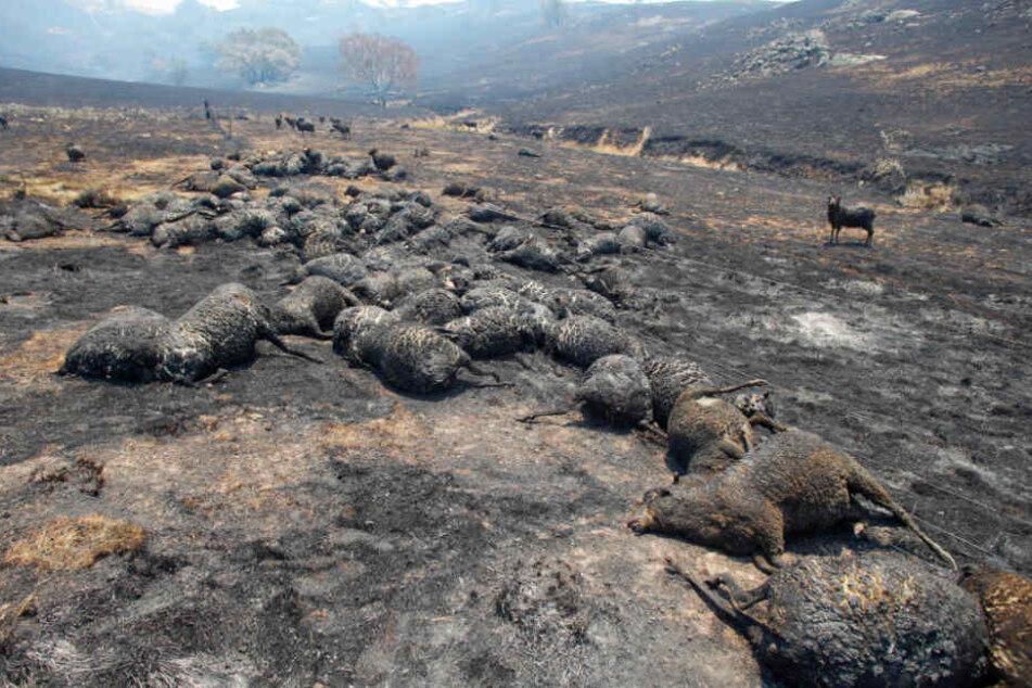 Tote Schafe liegen verbrannt nach einem Buschfeuer bei Canberra auf dem Boden.