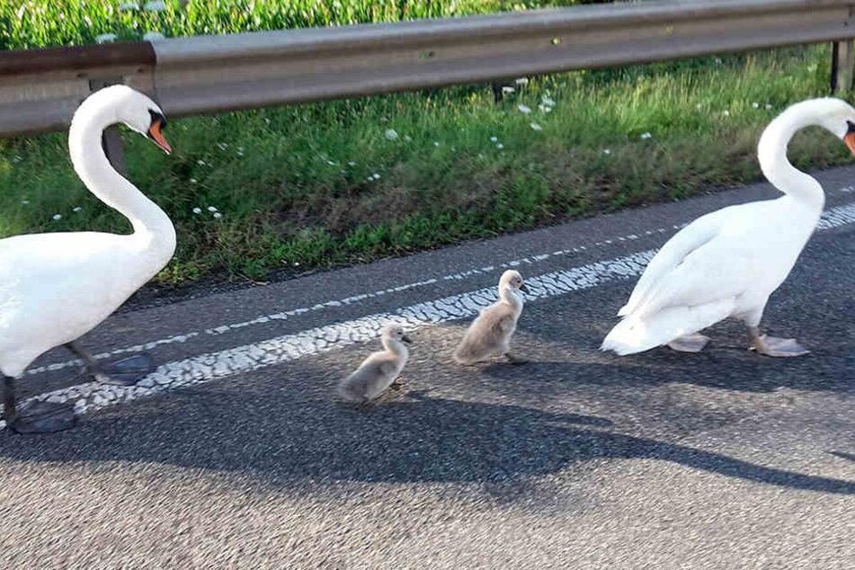 Immer wieder legen die schönen Vögel den Verkehr lahm, wie hier, im Juli 2016 auf der A61.