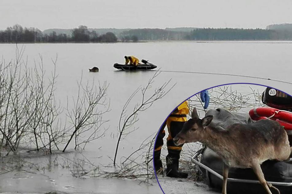 Ungewöhnliche Rettungsaktion: Feuerwehr holt Reh von Eis