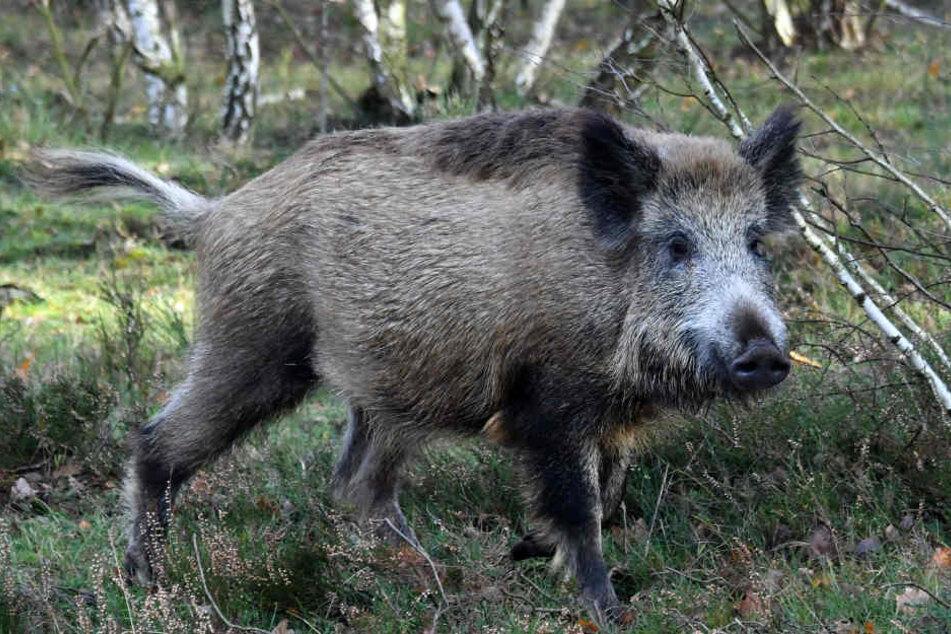 Die Jäger wollen Verbesserungen bei der Jagd auf Wildschweine. (Symbolbild)