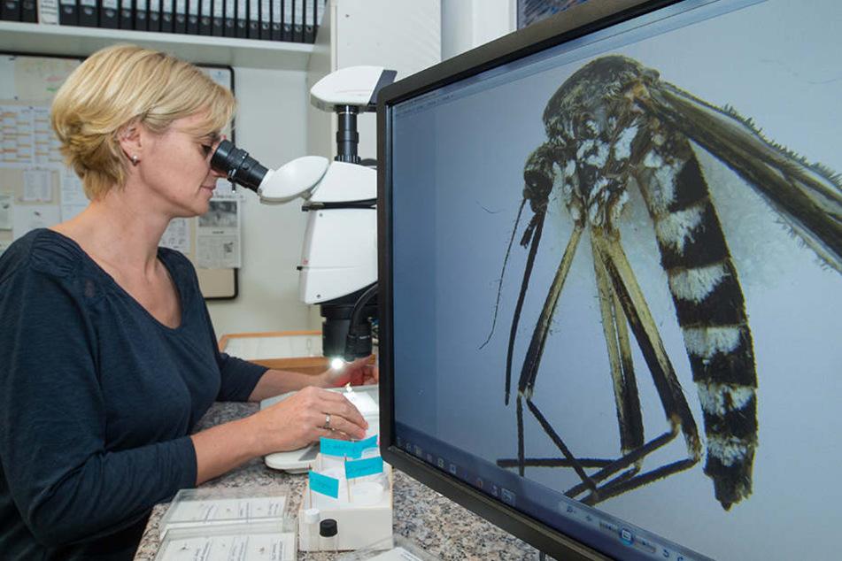 Dass ein frostiger Winter, weniger Mücken bedeutet sei laut der Biologin Doreen Walther Aberglaube und falsch.