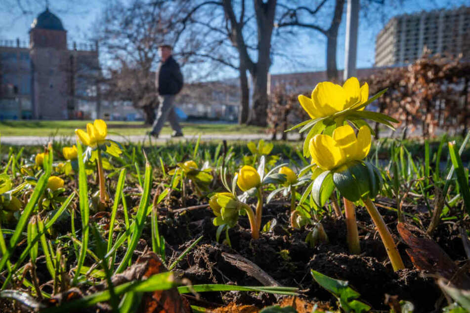 Winterlinge blühen im Stadthallenpark. Sie haben ein natürliches Frostschutzmittel, ein Kälteeinbruch könnte ihnen nichts anhaben.