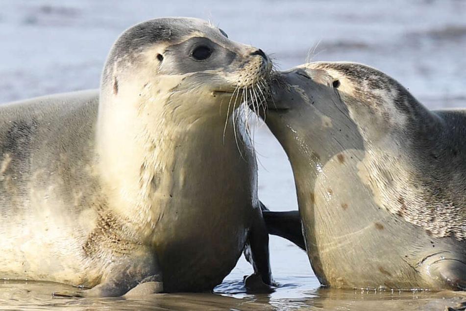 Zwei junge Seehunde liegen am Nordseestrand.