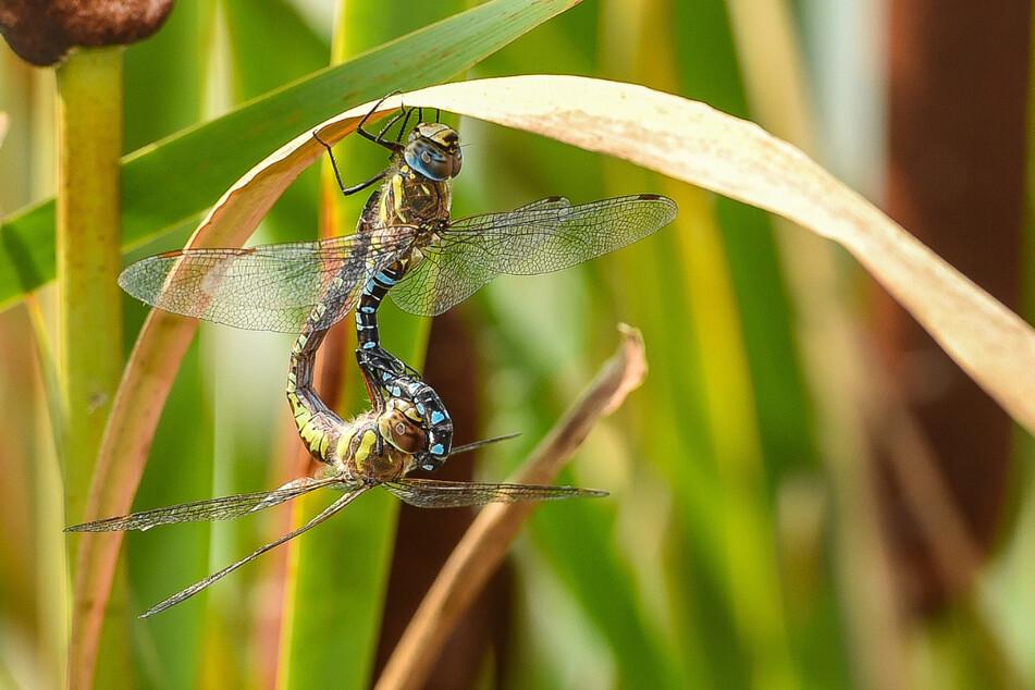 Auch Libellen nutzen das Schilf, verlieren diesen Lebensraum.