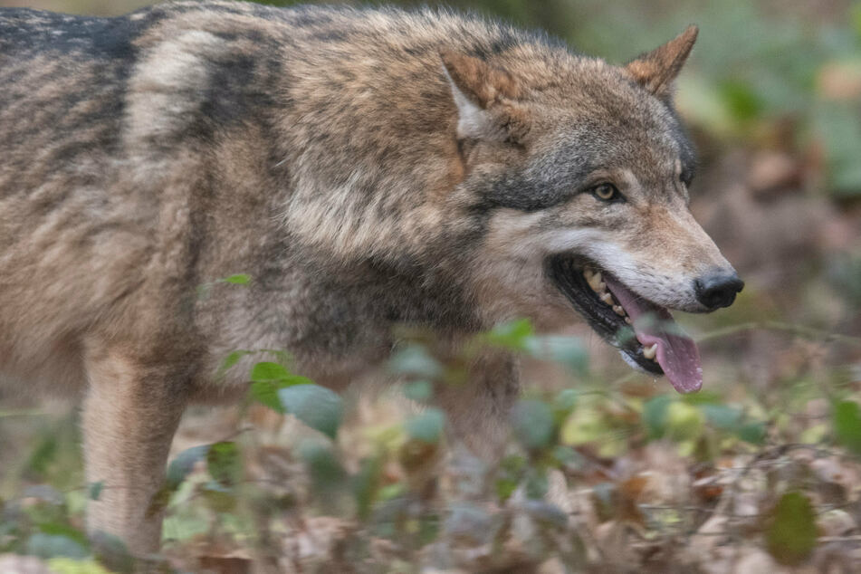 Jagdpächter findet toten Wolf mit Schussverletzung in Gleisbett