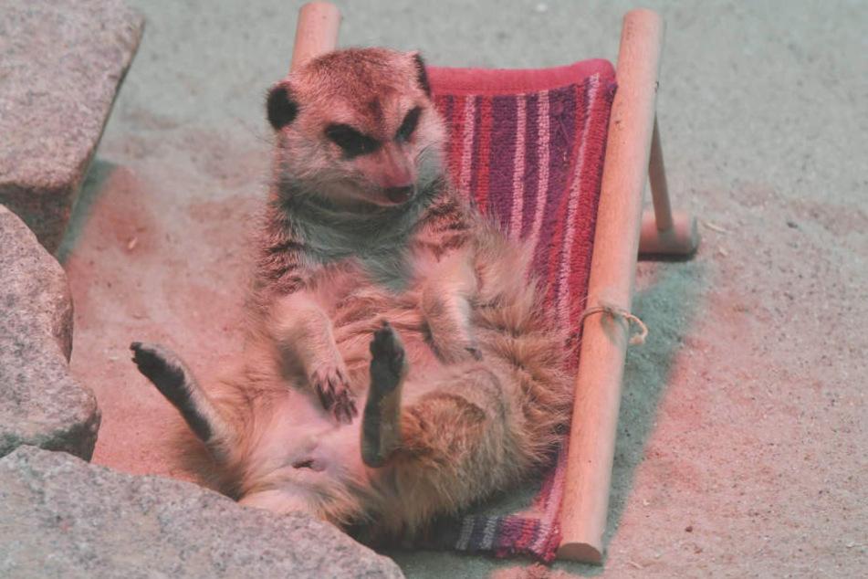 So kannten sie die Zoo-Besucher: Frau Erdfrau unter der Wärmelampe in ihrem Liegestuhl.