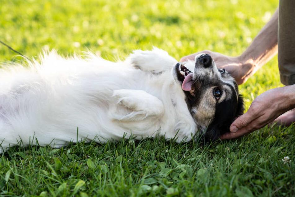 Hunde zeigen dir meist selbst, dass sie zum Beispiel gerne am Brustkorb gestreichelt werden wollen.