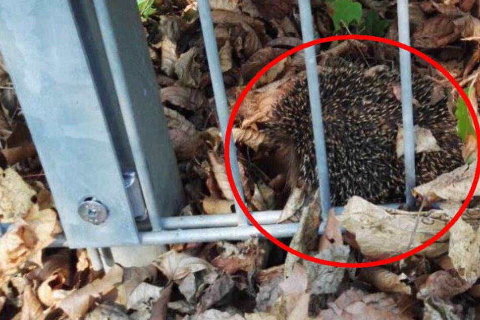 Der kleine Igel konnte wohlbehalten aus seiner misslichen Lage befreit werden.