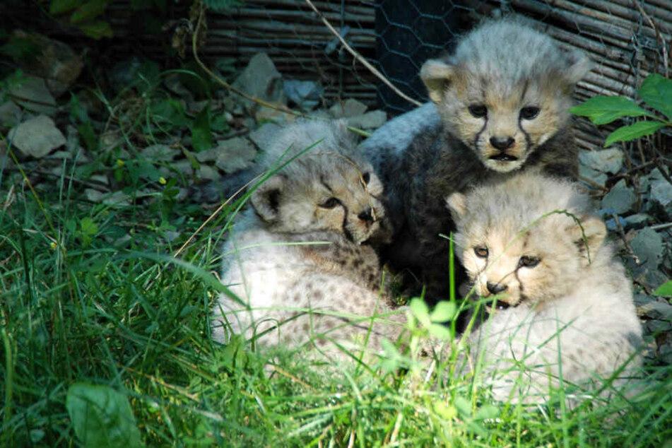 Drama im Erfurter Zoo! Geparden-Babys sind tot