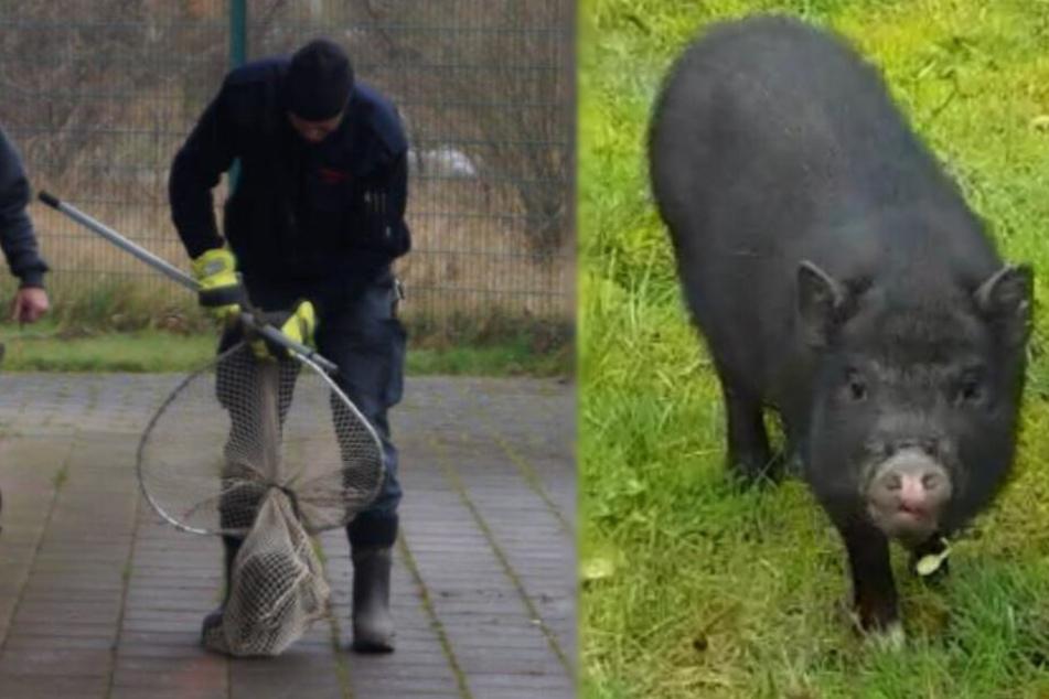 Wo ist der Besitzer? Feuerwehr fängt herrenloses Mini-Schwein