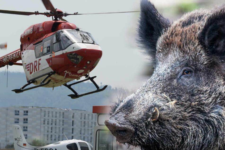 Wildschwein eskaliert und Polizei setzt sogar Hubschrauber ein. (Fotomontage)