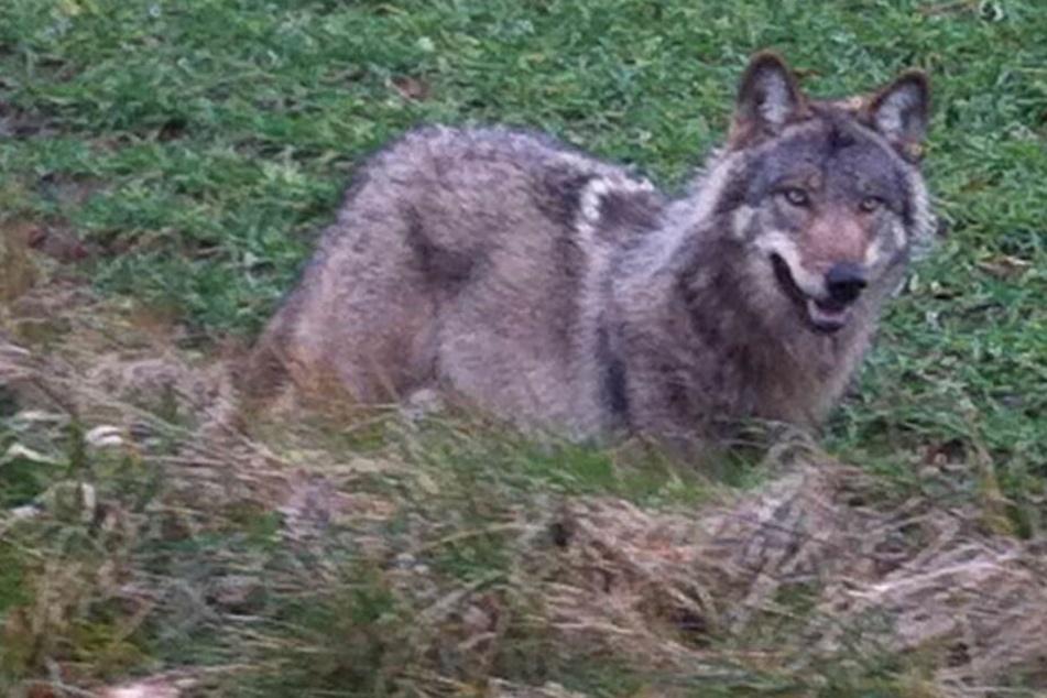 Weil er Rinder, Ponys und ein Alpaka riss: Wolf darf auch weiterhin abgeschossen werden