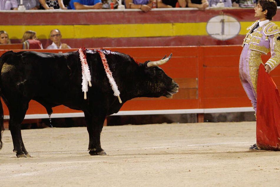 Schlag für Tierschützer! Stierkämpfe auf Mallorca wieder vollumfänglich erlaubt