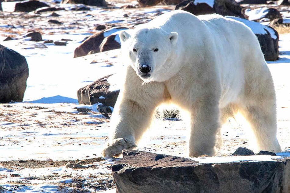 """Eisbären begeben sich in Sibirien regelrecht """"auf Menschenjagd"""", dürfen jedoch nicht getötet werden."""