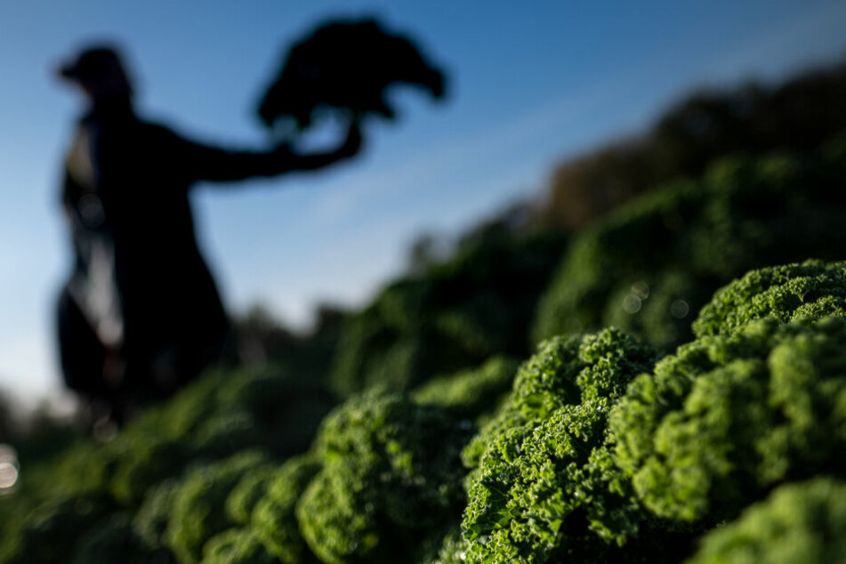 Grünkohl: Die Vitaminbombe des Winters