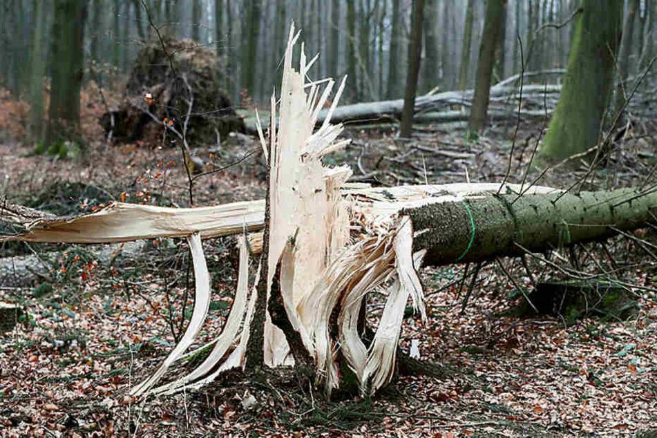 Ein umgeknickter Baum liegt im Zellwald bei Freiberg. Das Hitzejahr 2018 hat Sachsens Wälder extrem geschwächt, jetzt greift der Borkenkäfer an.
