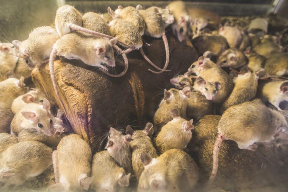 Je besser genährt die Ratten sind, desto mehr Nachwuchs bekommen sie. (Symbolbild)