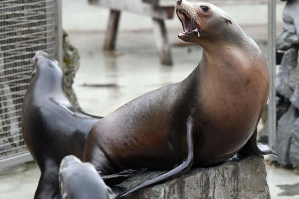 Die Seelöwen im Kölner Zoo werden nachts gerne mal laut.