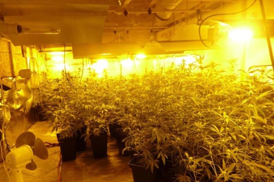 Die Marihuanaplantage mit über 250 Pflanzen in einem Büro- und Lagerbereich.