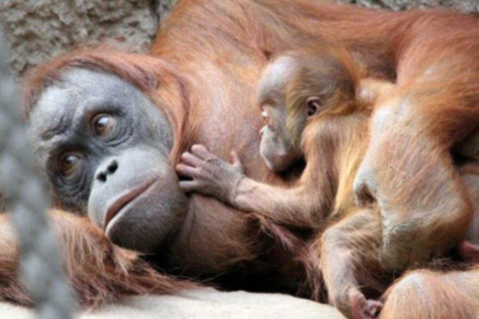 Leipzig: Große Trauer im Zoo Leipzig: Orang-Utan Martok (3) überraschend gestorben