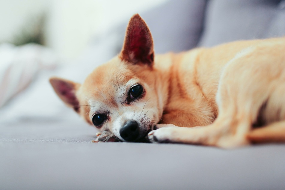 Older dogs are often low on energy, so they are very grateful for a quiet, warm place to snooze in.