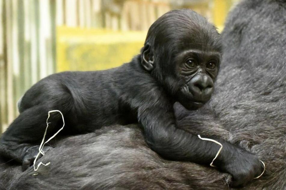 Der kleine Gorilla Katy zieht viele Besucher nach Nürnberg.