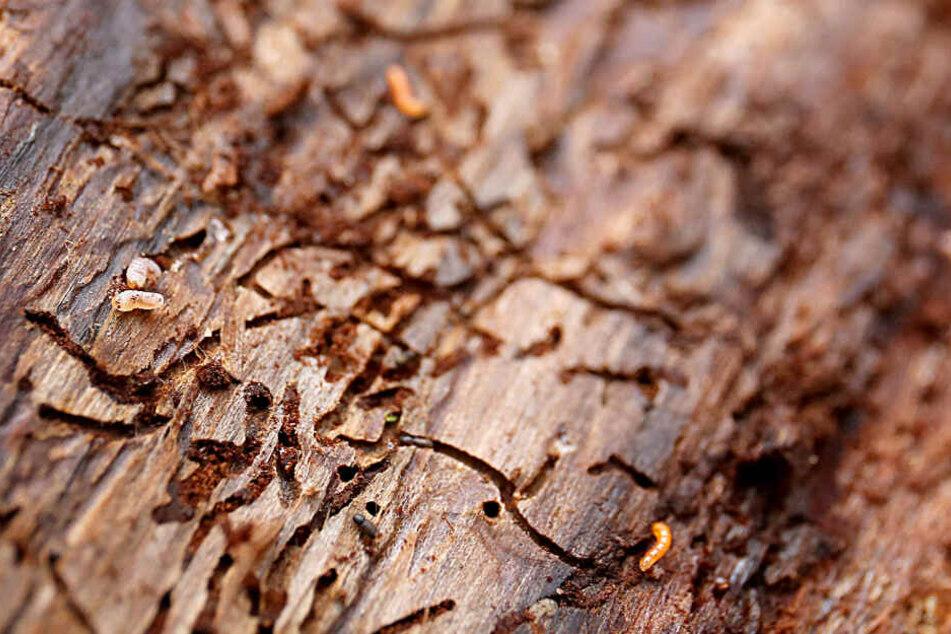 Das Archivbild zeigt die zeigt Spuren eines Borkenkäfers in einer Baumrinde.