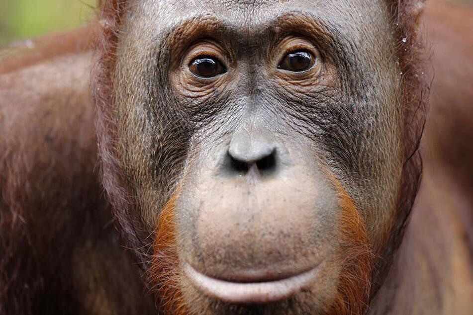 Tierschützer schlagen Alarm. Orang-Utans werden in Indonesien für Sex gejagt.