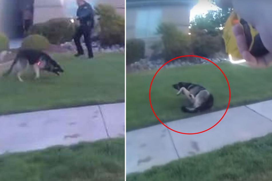 Heftiges Video: Polizisten setzen Elektroschocker gegen Hund ein