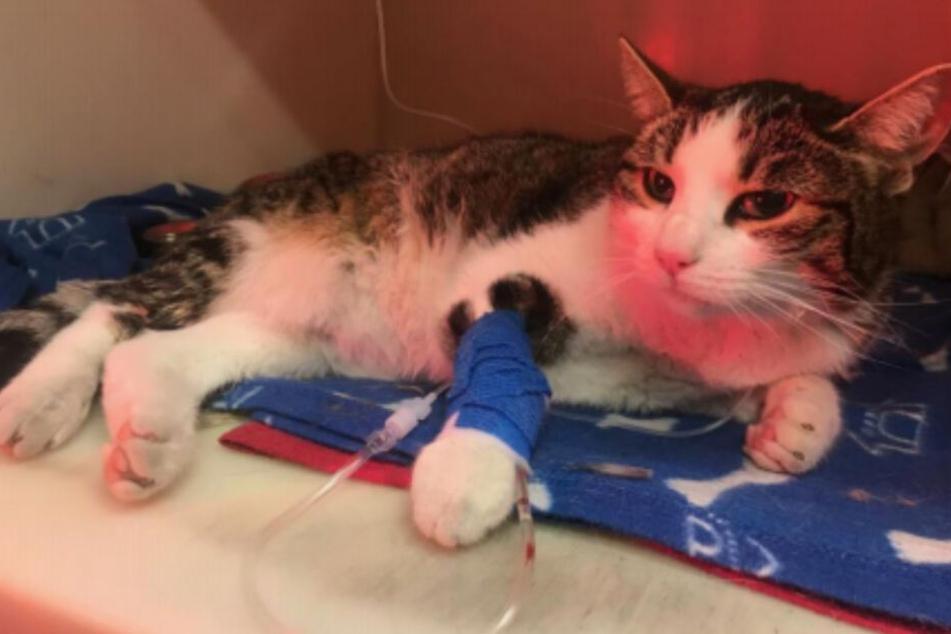Schwer verletzte Katze gefunden! Wer kennt sie?